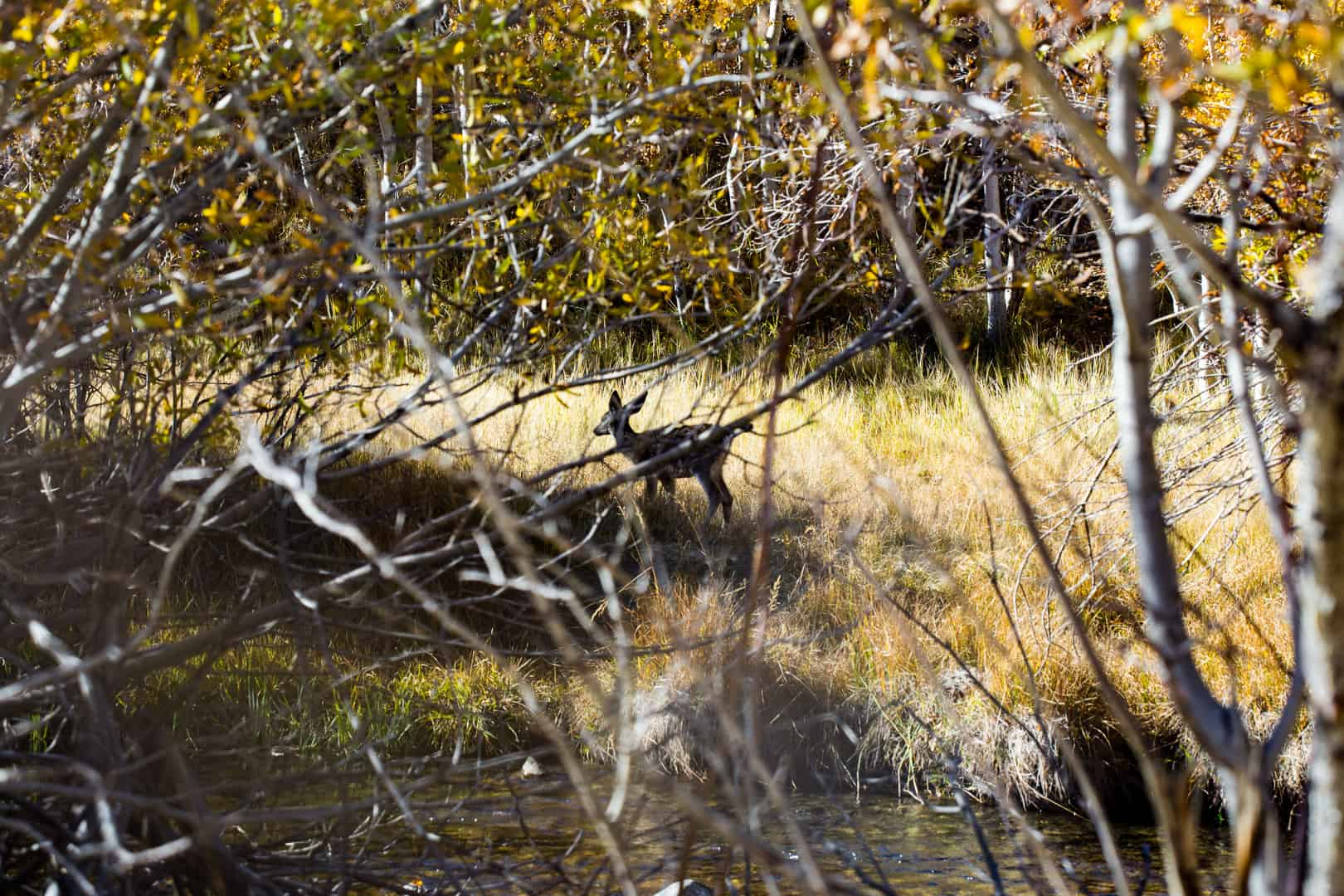Fawn, Convict Creek, October 2015